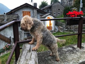 cane a campo tartano