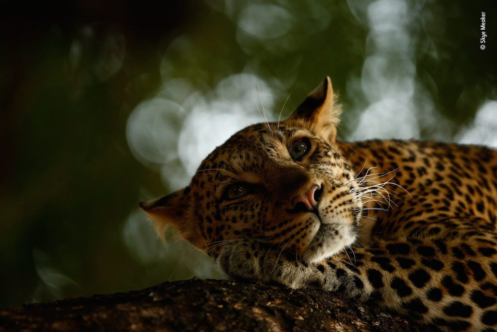 ildlife Photographer of the Year - Lounging Leopard by Skye Meaker